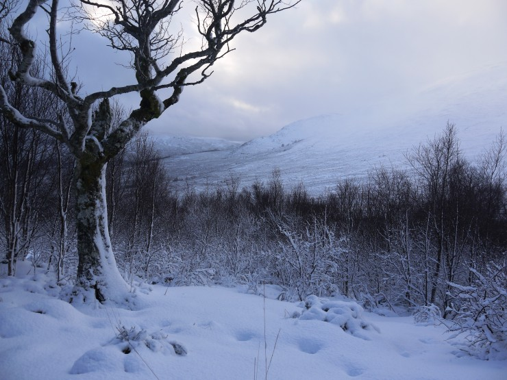 Snow spattered trees just above the main Coire  Ardair path. Festive scene.