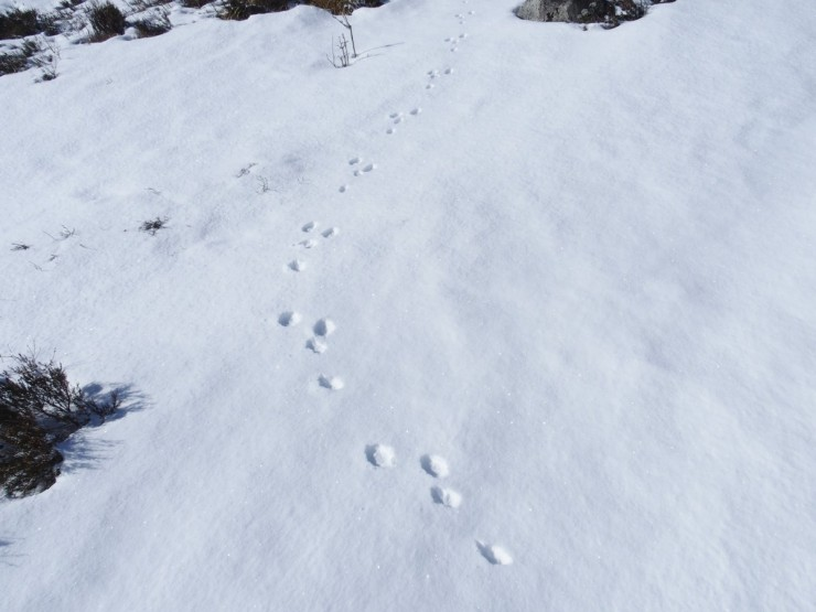 This mountain hare was too quick for the camera.